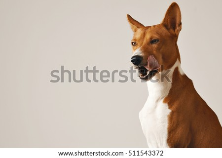 Basenji dog licking its nose showing its teeth eyes half closed against white wall background #511543372
