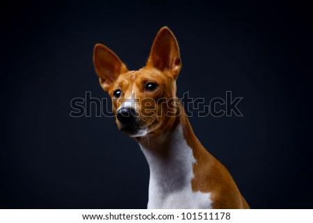 Basenji-dog on the black background