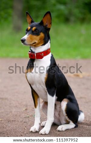 Basenji-dog on the grass