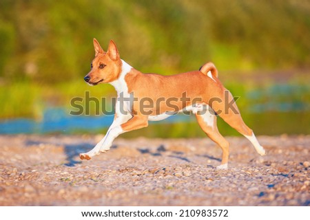 Basenji dog running on the beach