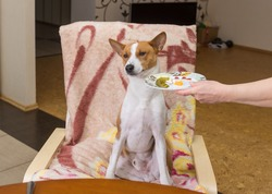 Basenji dog shows indifference to master's trying to feed the pet with human food while sitting at the dinner table and waiting for waiter would be more careful in selection of canine plate