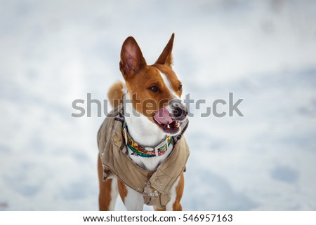 Basenji dog walking in winter forest. Cold snowy day. Dog in winter clothes #546957163