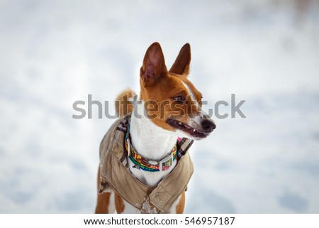 Basenji dog walking in winter forest. Cold snowy day. Dog in winter clothes #546957187