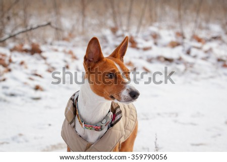 Basenji dog walks in the field. Winter is not a lot of snow on the grass. Closeup portrait #359790056