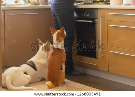 Basenji dog with its mixed breed white friend sitting near stove and patiently waiting till their master finish cooking canine food #1268003491