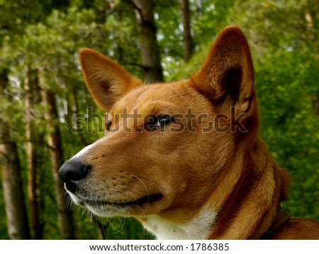 Basenji - non-barking african dog - stock photo
