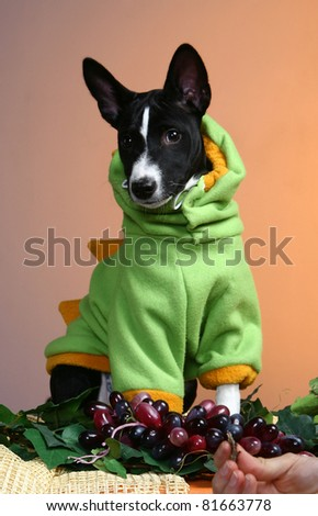 Basenji puppy, 4 months, in the fancy dress of dinosaur, on the orange background