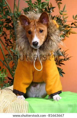 Basenji puppy, 4 months, in the fancy dress of lion, on the orange background