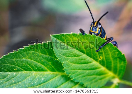 Bashful Black and Orange Grasshopper Shy with Leaf #1478561915