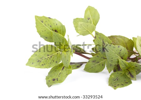 Basil bunch on a white background. Close up.