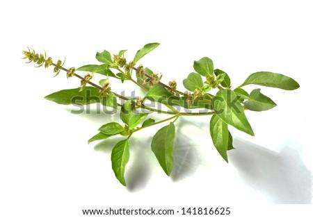 Basil flower