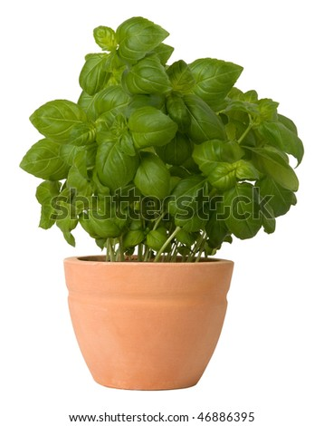 Basil growing in a flower pot stock photo 46886395 shutterstock - Aromatic herbs pots multiple benefits ...