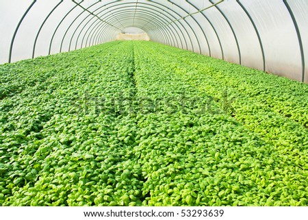 Basil growing in glasshouse or greenery - stock photo