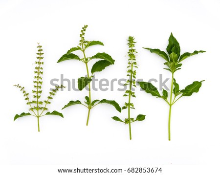 basil hairy basil and thyme herbal on white background.