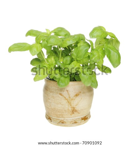Basil herb growing in a hand crafted pot isolated against white