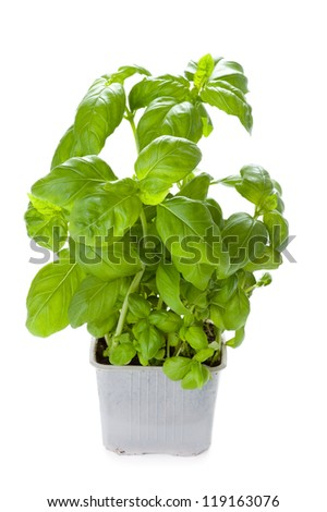 basil herb growing in a plastic pot isolated - stock photo