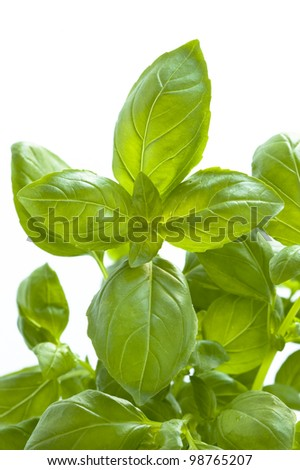 basil herb growing on a white background