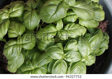 Basil herb plant growing in a pot in summer