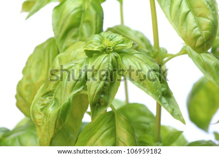 Basil herb plant leaves growing against white background
