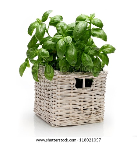 basil herbs #118021057