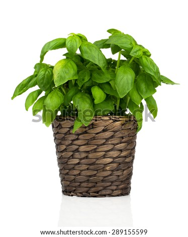 basil herbs in Pot on White background #289155599