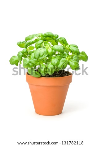 Basil in a clay pot