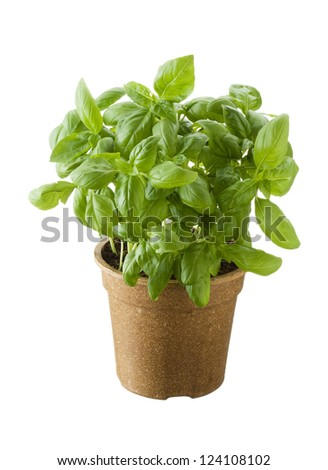 Basil in a pot isolated on white background
