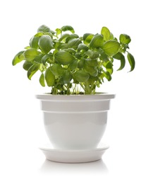 Basil in a white clay pot isolated on white background