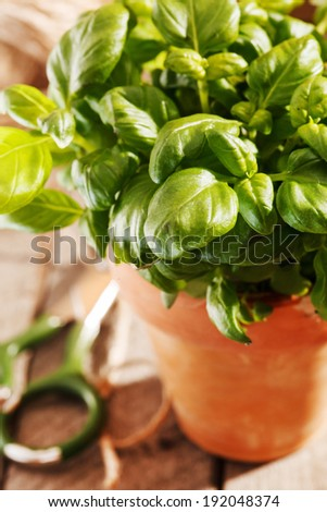 basil in the pot