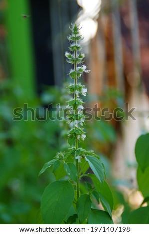 Basil is an interspecies hybrid between two species of basil, Ocimum basilicum and O. americanum Foto stock ©