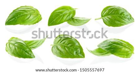 Basil isolated. Basil leaf on white. Basil leaves set.
