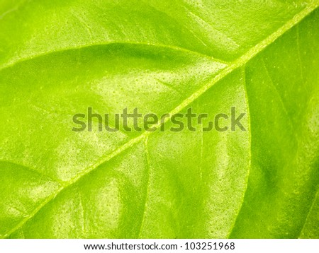 Basil leaf macro fro background