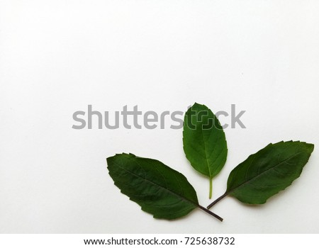 Basil Leaves  #725638732