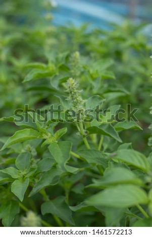 Basil leaves Nontoxic organic vegetable Homegrown vegetable