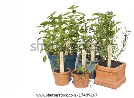 Basil, mint, thyme and lavender potted herbs in line and isolated against white