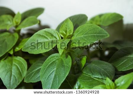 Basil (ocimum basilicum, great basil, sweet basil) plants Zdjęcia stock ©