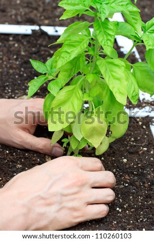 Basil Plant in a Garden Being Cared for