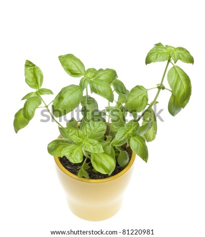 Basil Plant in Yellow Pot From Above Isolated on White with a Clipping Path.