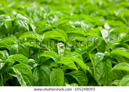 Basil plants at an organic commercial farm