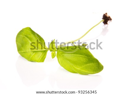 Basil plants, isolated on white background
