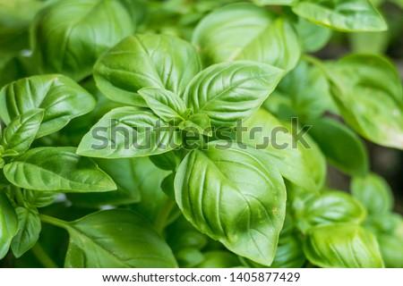 basil plants ocimum basilicum growing potted outdoor Zdjęcia stock ©