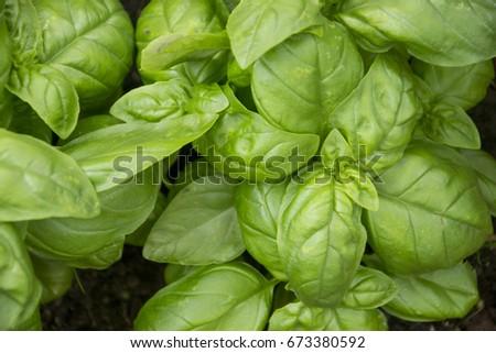 basil texture, ocimum basilicum Zdjęcia stock ©