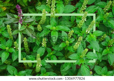 Basil with bright green leaves illuminated by daylight, Basil plant with a rectangular frame #1306977826