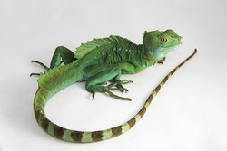 Basiliscus plumifrons - An adult green basilisk, also known as double crested basilisk, or Jesus Christ lizard showing off its tail, sitiing on a white background.