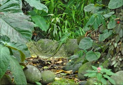 Basilisk Lizard Camouflaged in the Forest, Costa Rica