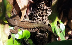 Basilisk lizard in its natural habitat. Taken in Tortuguero national park in Costa Rica. Seen from above. Background of green and brown leaves and dead wood.