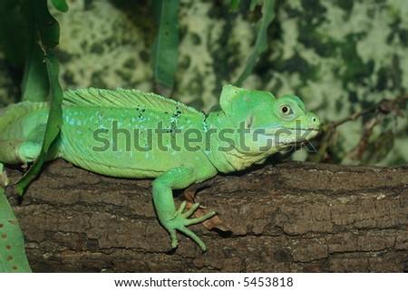 Basilisk lizard shot in terrarium, natural light
