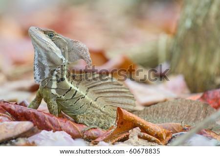 Basilisk or Jesus Christ Lizard (Basiliscus basiliscus)