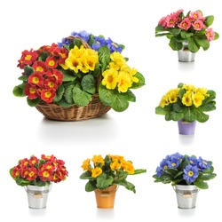 Basket and bucket with spring primula flowers, collection on white background
