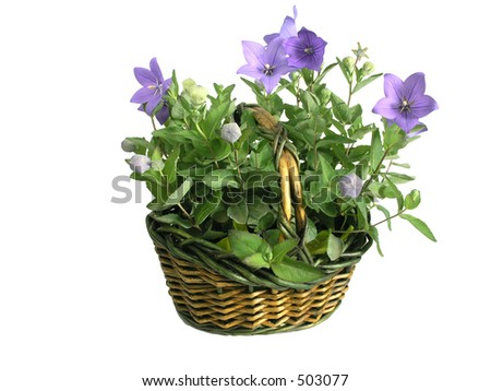 basket full of flowers /isolated/ - Campanula carpatica